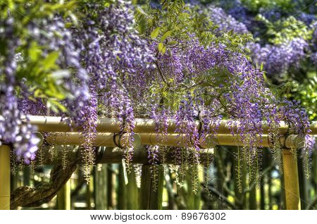 Fuji Hana / wisteria trellis