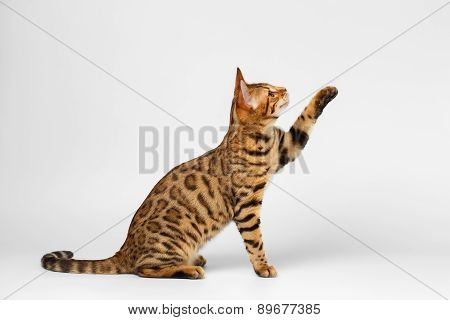 Bengal Cat Raising up Paw on White background