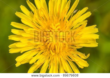 Yellow Dandelion On A Green Background
