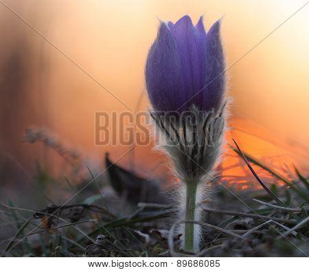 Spring Flower Pasqueflower- Pulsatilla Grandis At Sunset