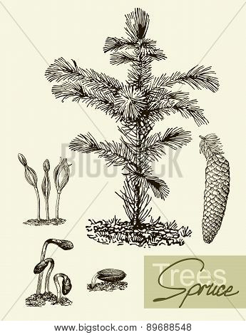 Vector leaves, flowers and fruits of the spruce. Botany