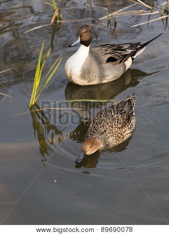 Two Ducks Swimming In A Lake