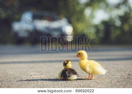 Close Up Small Duckling On The Asphalt Road