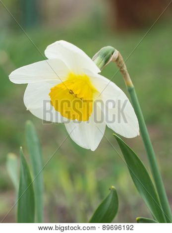 Narcissus Flower In A Garden Close Up