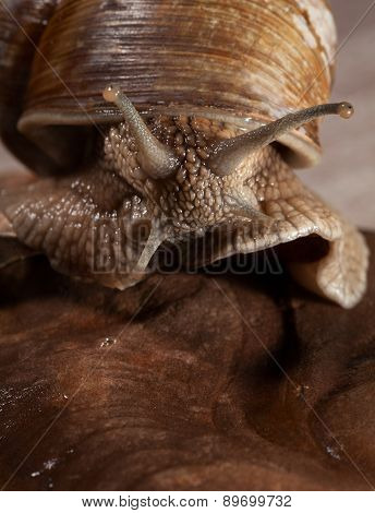 Escargot Macro Portrait