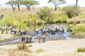 stock photo of great horse  - African zebras drinks water at the great plains of Serengeti - JPG