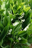 stock photo of day-lilies  - lilies of the valley  - JPG