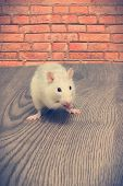 stock photo of rats  - rat eats on a wooden table in front of a red brick wall - JPG