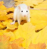 stock photo of rats  - white pet rat sitting on yellow leaves and looks ahead - JPG