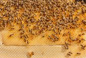 image of swarm  - Many bees working on honeycomb frame - JPG