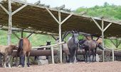 image of horses eating  - several variegated horses eating and standing in the stables - JPG