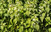 picture of nettle  - Closeup of white flowering and budding nettle or Lamium album plants in their own habitat between grass - JPG