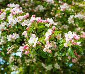 picture of bud  - Closeup of subtile blossoms and buds of a crabapple tree in the early spring season - JPG