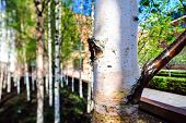 foto of spring-weather  - Small young birch in spring city park sunny weather Moscow Russia  - JPG