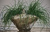 stock photo of chive  - The clay pot with chives protruding from the sides.