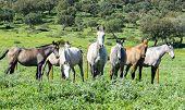 pic of wild horses  - Herd of horses in a meadow  - JPG