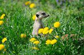 stock photo of meerkats  - Meerkat on watch in green grass with dandelions - JPG