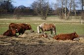 image of calves  - Cattle with calf and horse around a heap of straw - JPG