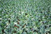 image of kale  - Field of green kale in Tarma Peru - JPG