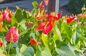 picture of bisexual  - Flamingo Flower or Boy Flower flower - JPG