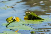 image of water lily  - Yellow water lily in nature water - JPG