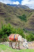 stock photo of donkey  - Donkey grazing in the Cordillera Blanca part of the Andes mountains in central Peru - JPG