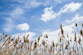 stock photo of marsh grass  - Tall Marsh Grass Against a Blue Sky With White Cloud - JPG