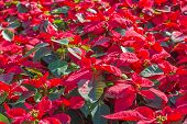 stock photo of poinsettia  - Garden with red poinsettia flowers or christmas star - JPG