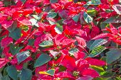 pic of poinsettia  - Garden with red poinsettia flowers or christmas star - JPG