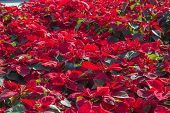 foto of poinsettia  - Garden with red poinsettia flowers or christmas star - JPG
