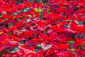 image of poinsettia  - Garden with red poinsettia flowers or christmas star - JPG