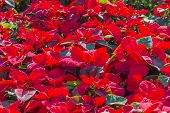 picture of poinsettia  - Garden with red poinsettia flowers or christmas star - JPG