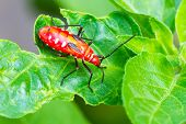 stock photo of leaf insect  - red insect with long black legs walking on green leaf - JPG