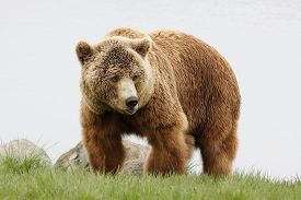 foto of grizzly bear  - A brown bear walking in the nature - JPG