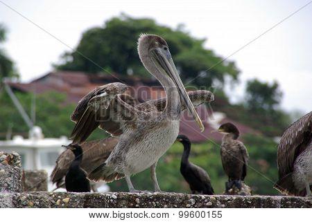 Pelican in Guatemala