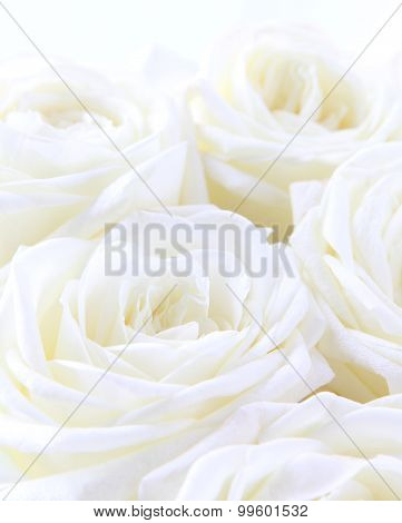 Beautiful White Roses As Wedding Background. Soft Focus.