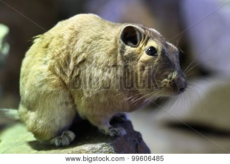 Common gundi (Ctenodactylus gundi). Wild life animal.