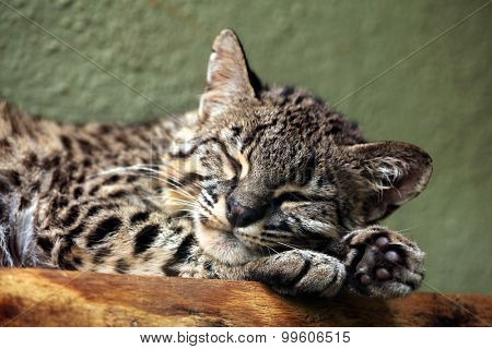 Geoffroy's cat (Leopardus geoffroyi). Wild life animal.