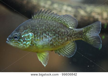 Pumpkinseed (Lepomis gibbosus). Wild life animal.