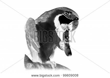 Black and white portrait of parrot ara