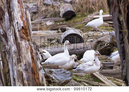 White gooses