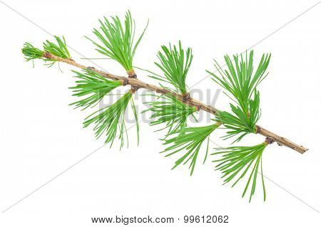Young larch branch
