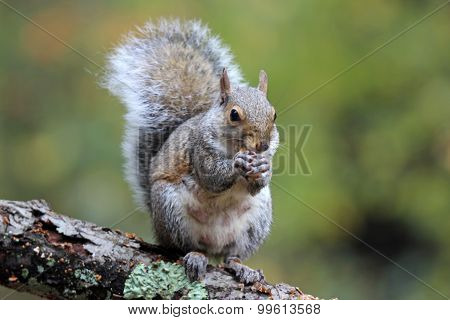 Gray Squirrel in Fall