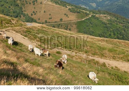 Swiss mountain landscape, grazing cows