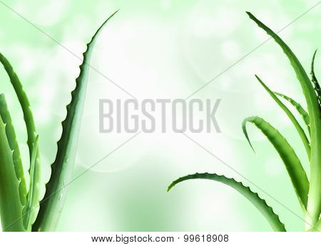 aloe vera leaves detailed background, against green and white studio background