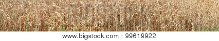 Thick-set Of Ripe Corn Plant As Natural Background.