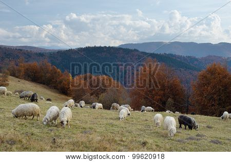 Autumn Landscape with a herd of sheep in a pasture in the mountains. Carpathians, Ukraine, Europe