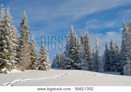 Fir forest under snow. Winter landscape in the mountains. Christmas look. Carpathians, Ukraine, Europe