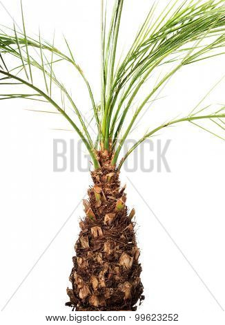 Beautiful palm plant in a brown pot.