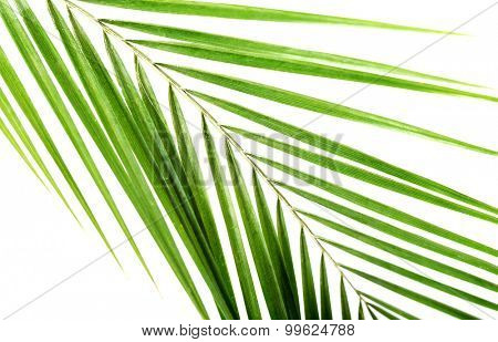 Macro of green palm leaf.